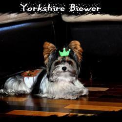 Cookie Yorkshire Biewer de Nouvelle Écosse * Mâle Reproducteur *