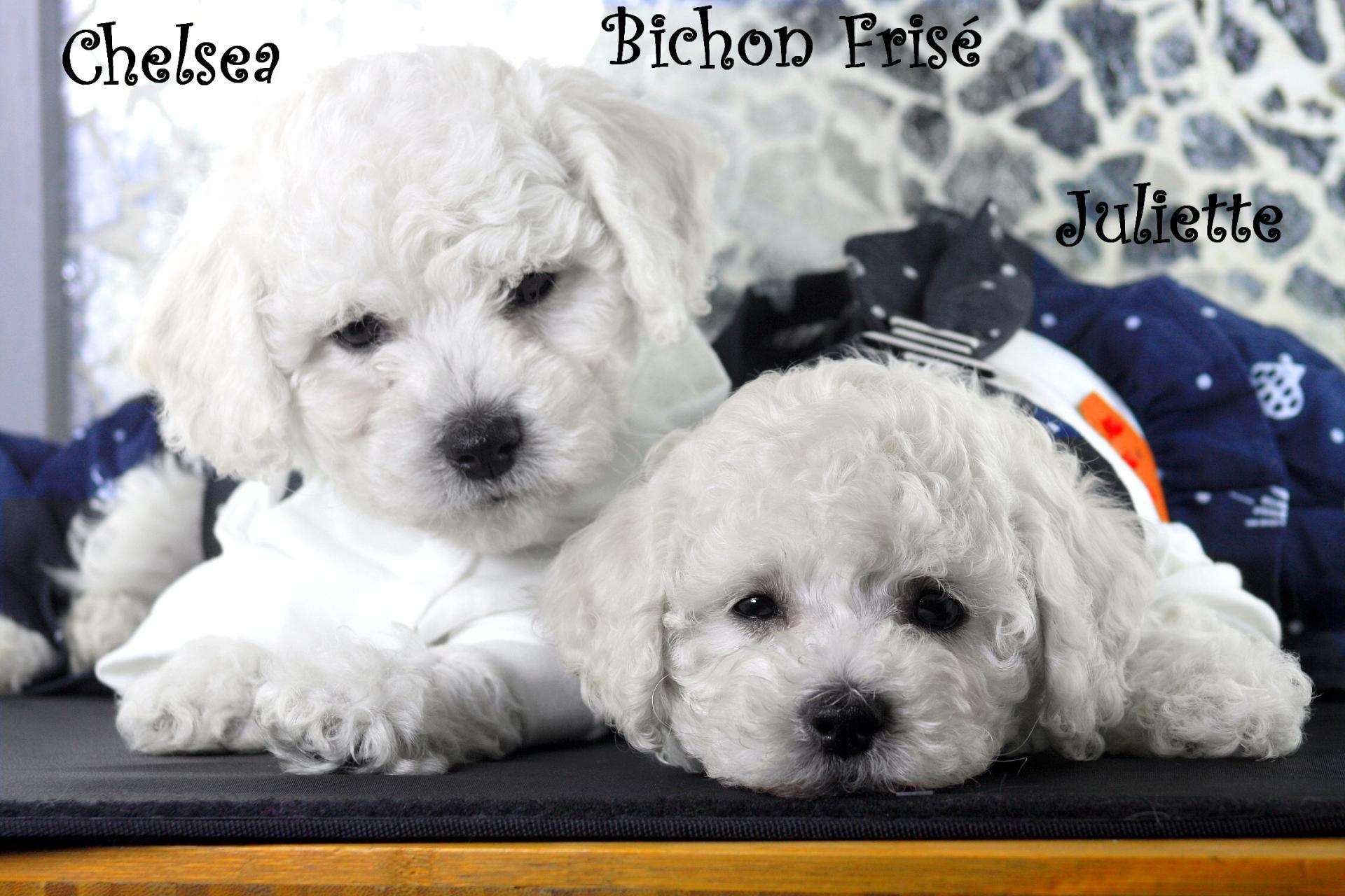Femelles Chelsea & Juliette Bichon Frisé
