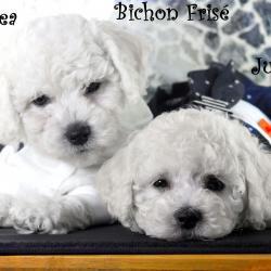 Chelsea & Juliette Bichon Frisé