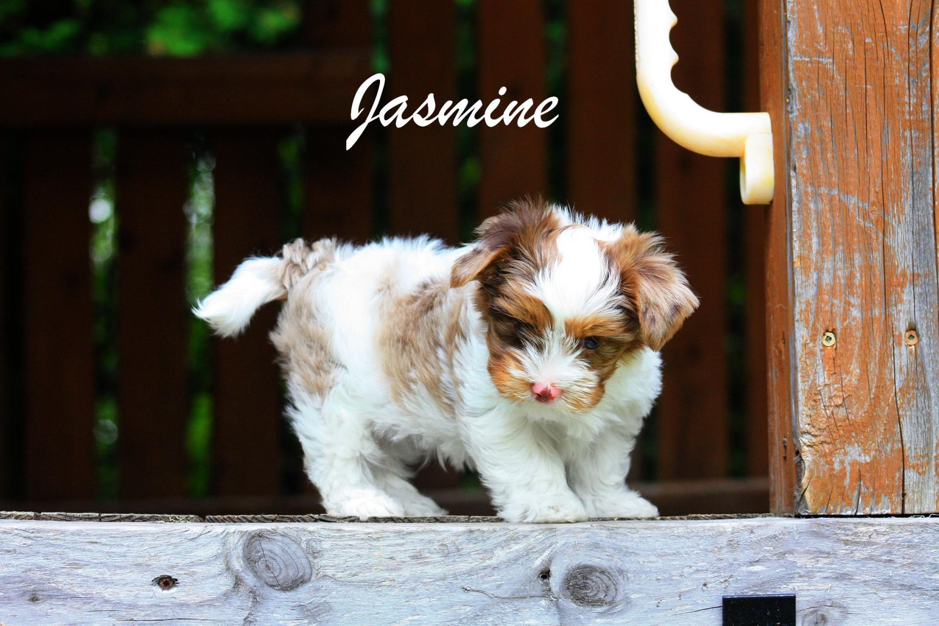 Femelle Jasmine Yorkshire Choco-Merle