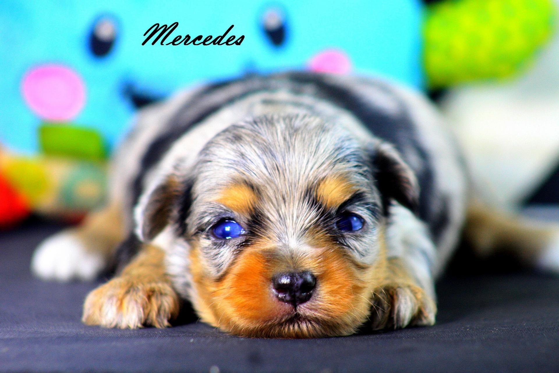 Femelle Mercedes * Morkie Merle *