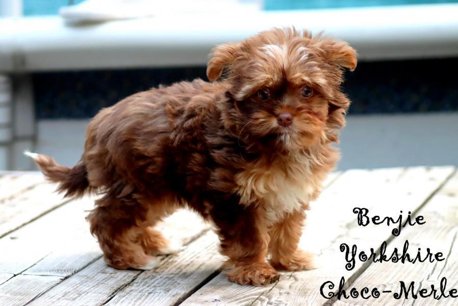 Femelle Benjie * Yorkshire Choco-Merle *