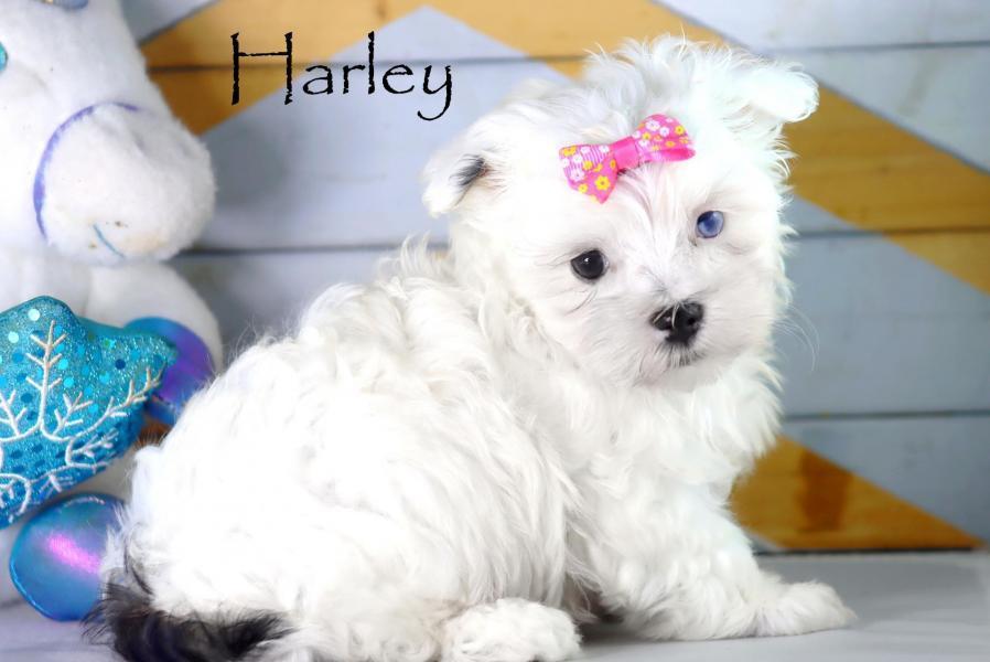 Femelle Harley * Morkie *